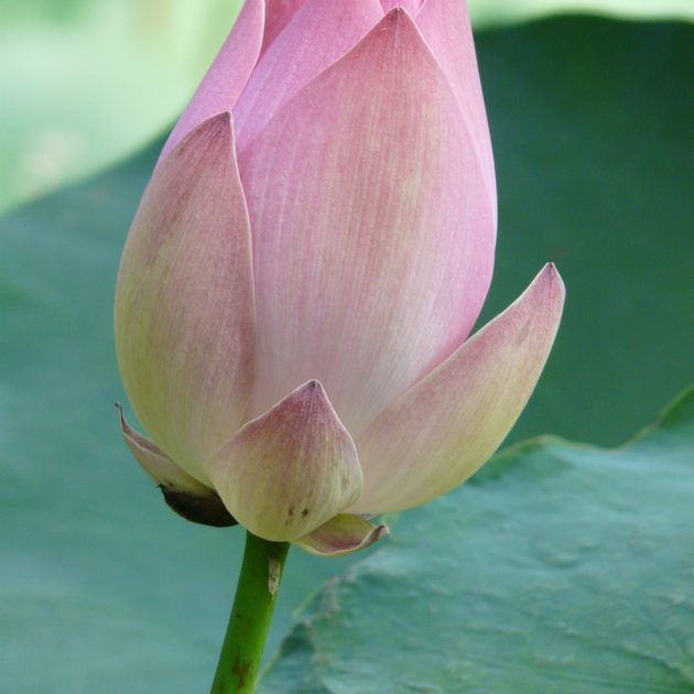 lotus-4440_1920
